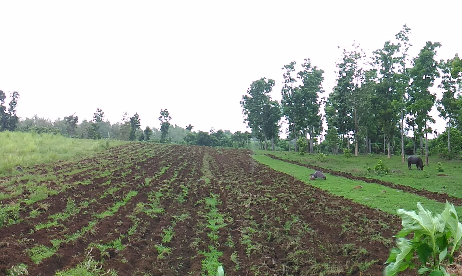 Agricultural Lands and Farm Lots: Properties for sale in Negros